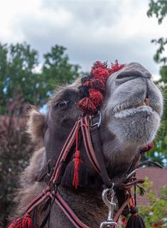 kameel.png